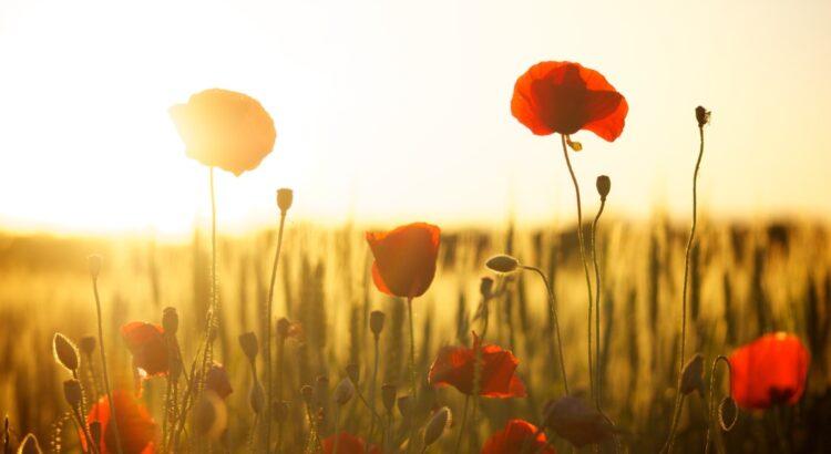 poppies-174276 (Credit Dani Géza from Pixabay)
